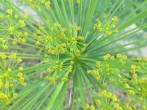 The dill flowers have a explosion on lines, like fireworks