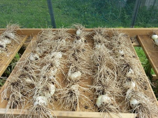 My onion drying rack.