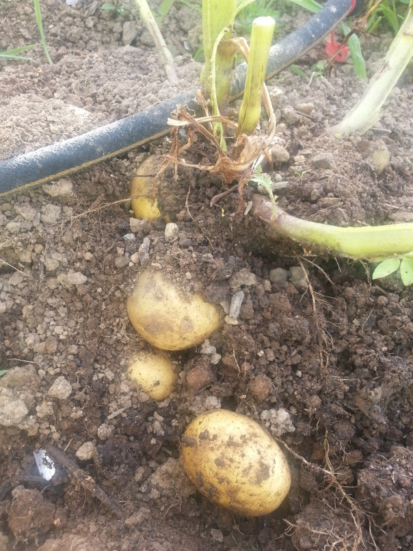 Spuds galore