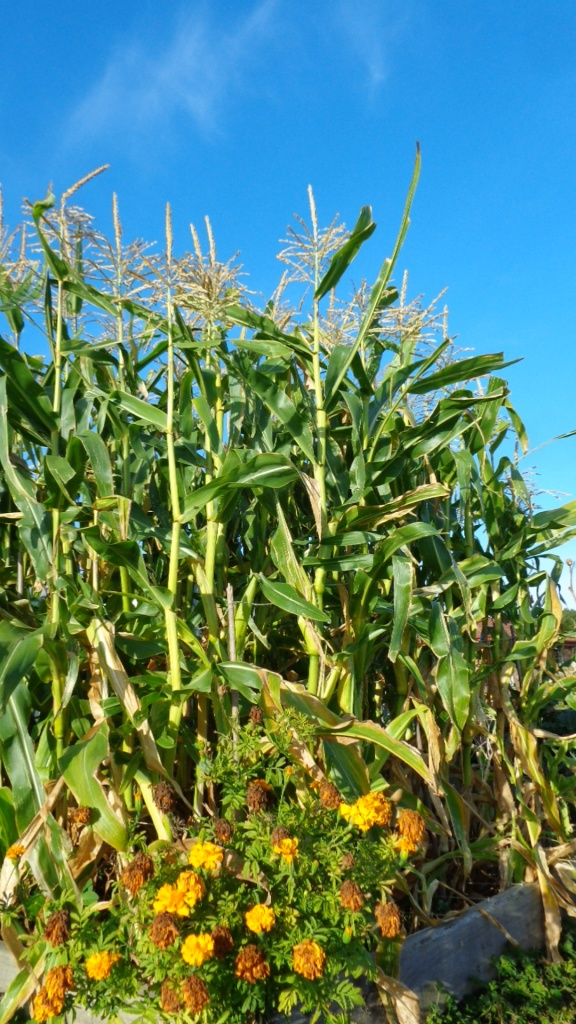 Sweetcorn is the sunniest crop I can think of.