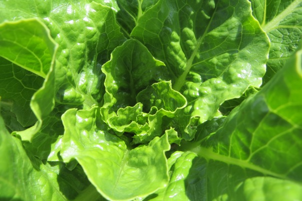 Fresh lettuce is so easy to grow