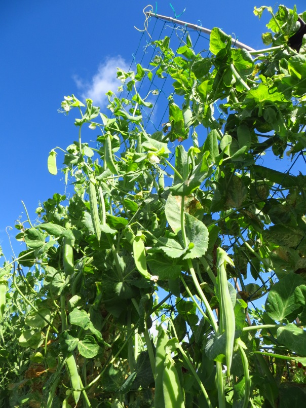 Fresh peas, picked regularly.  Nothing better