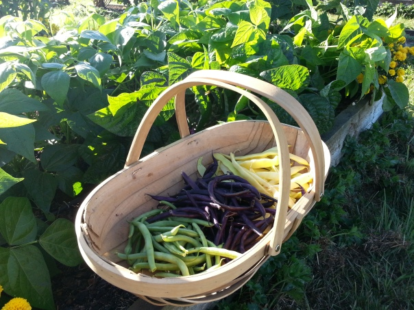270g green beans, 390g purple beans and 440g butter beans