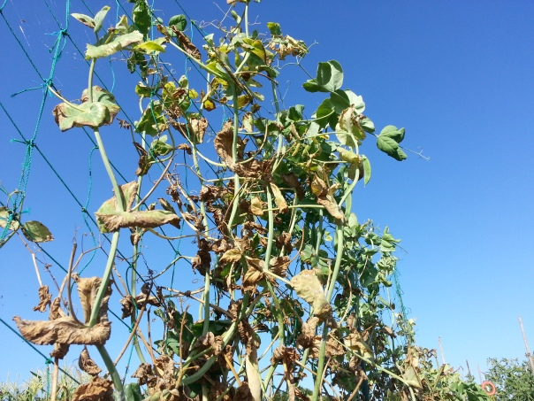 These peas have seen better days, but their removal will leave a considerable gap in the landscape