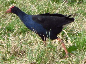This cheeky pukeko is not allowed in the garden - him and his thieving blackbird mate