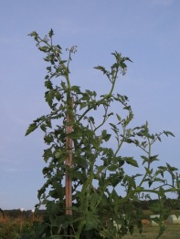 Tomatoes in the half light