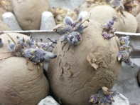 September: Chitting potatoes