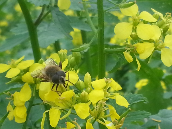 The bees are loving my mustard cover crop.