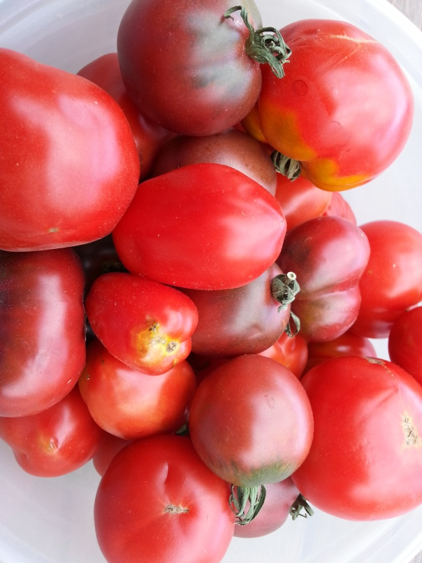 The latest haul of tomatoes