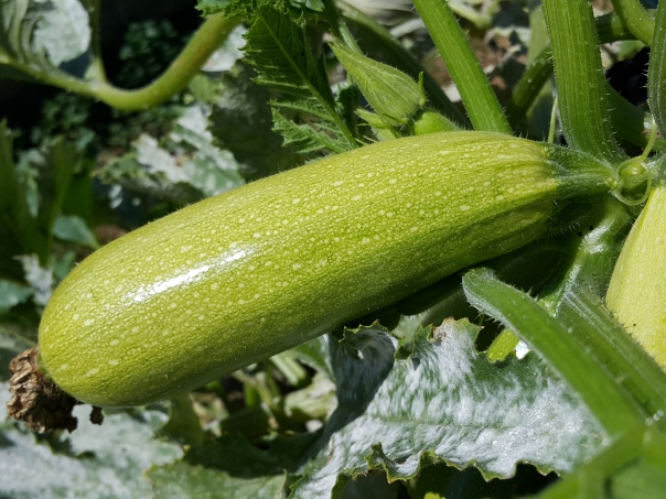 Don't let zucchini get any bigger than this!