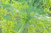 November: dill flower fireworks, perfect for Guy Fawkes celebrations