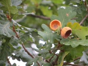 April bonus: acorn
