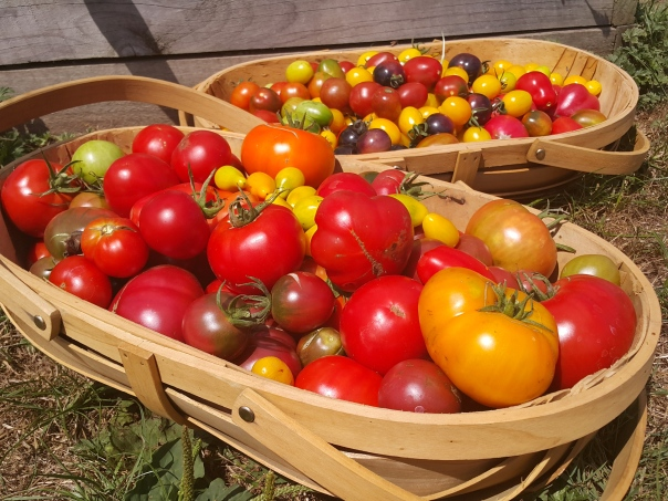 A basket full of tomatoes