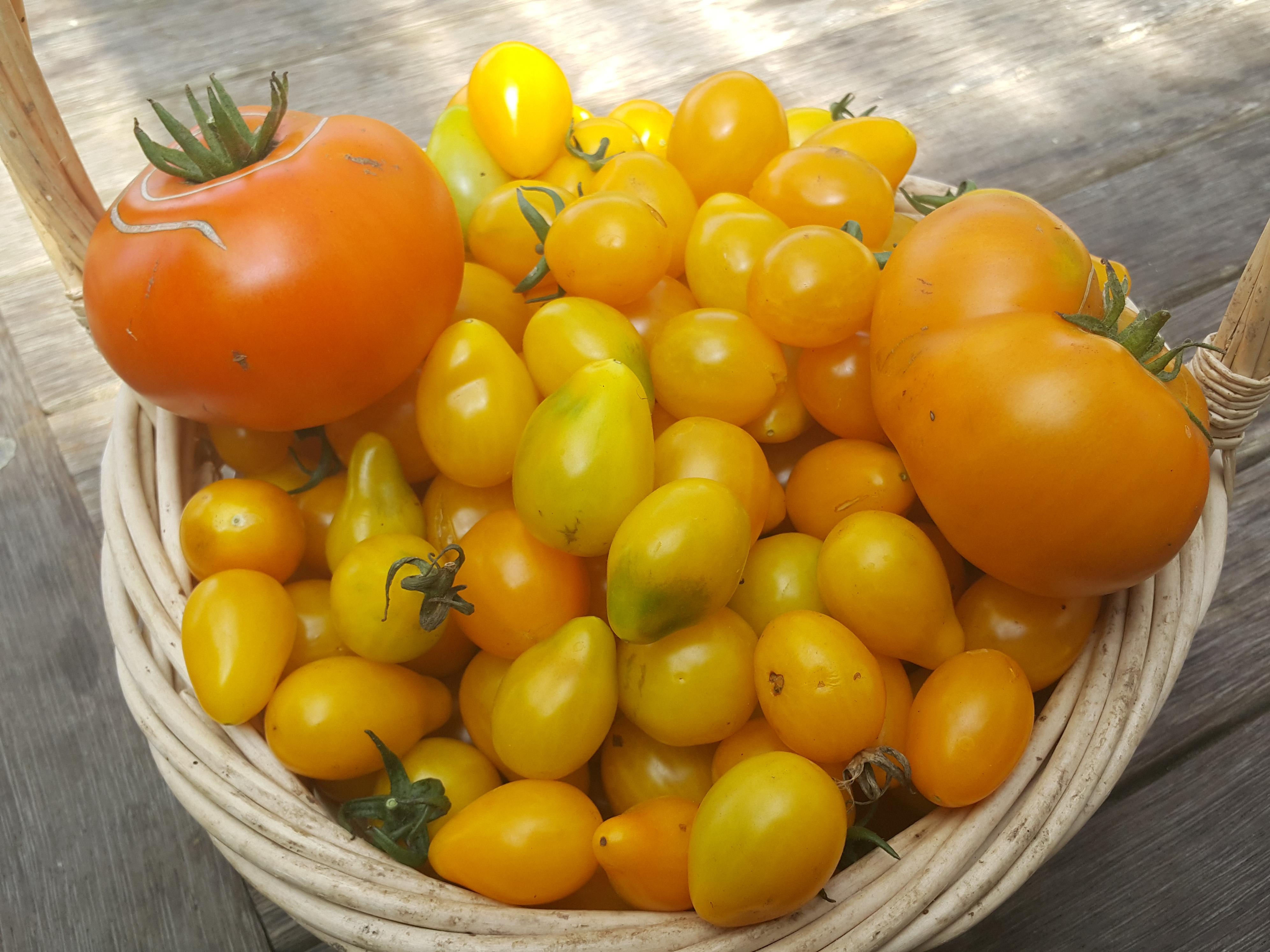 How to make Yellow Tomato Paste | SARAH THE GARDENER