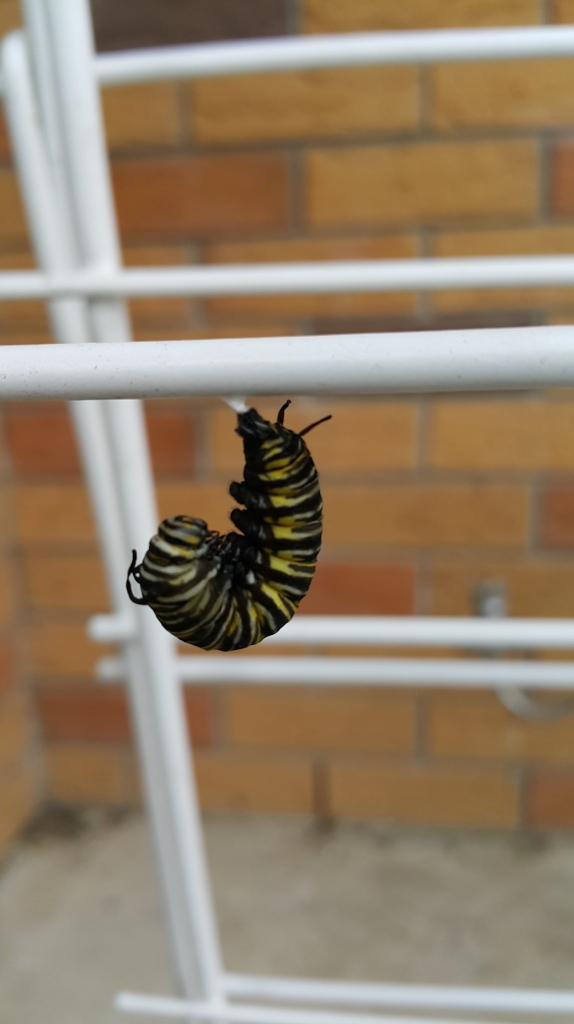 Monarch Butterfly caterpillars chrysalis sustainable clothes drying