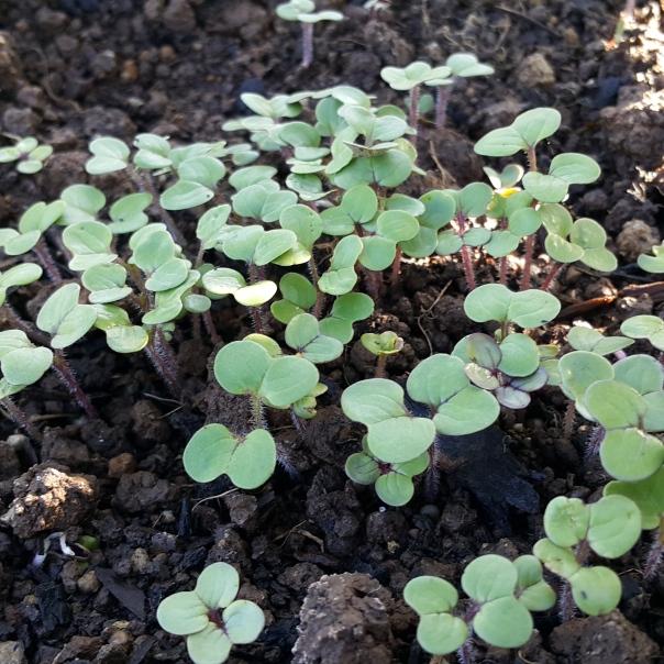 I love mustard seedlings, they look like little butterflies.