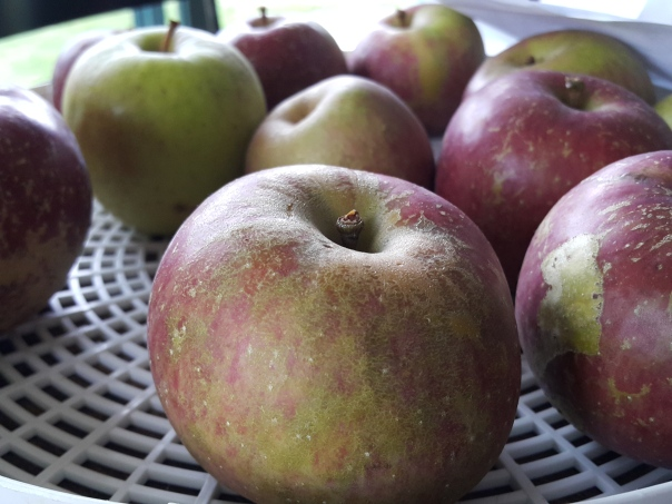 The crunch of an apple straight from the tree is incredible