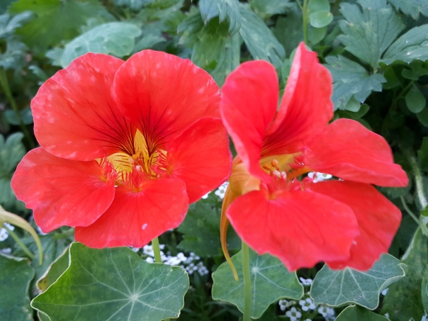 Flavour from unexpected places  Nasturtium flowers for a peppery kick.