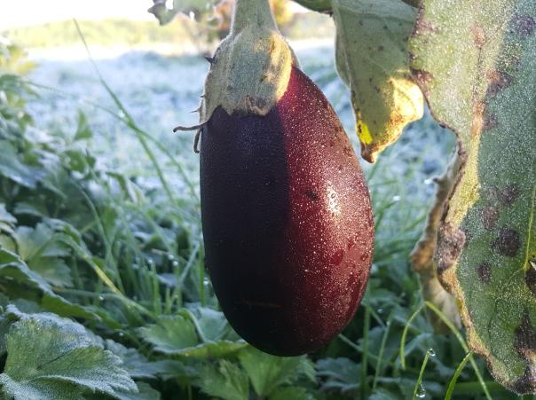 frost hit eggplant