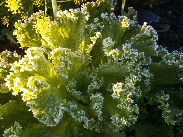 frost hit lettuce