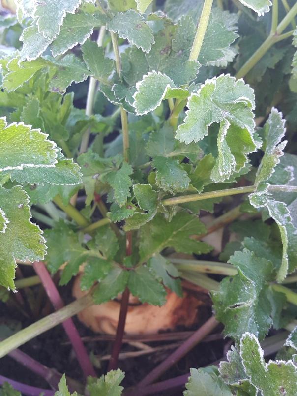 sweetened frost hit parsnip