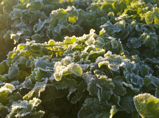 frost hit cover crop mustard