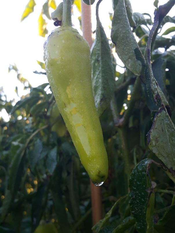 frost hit pepper