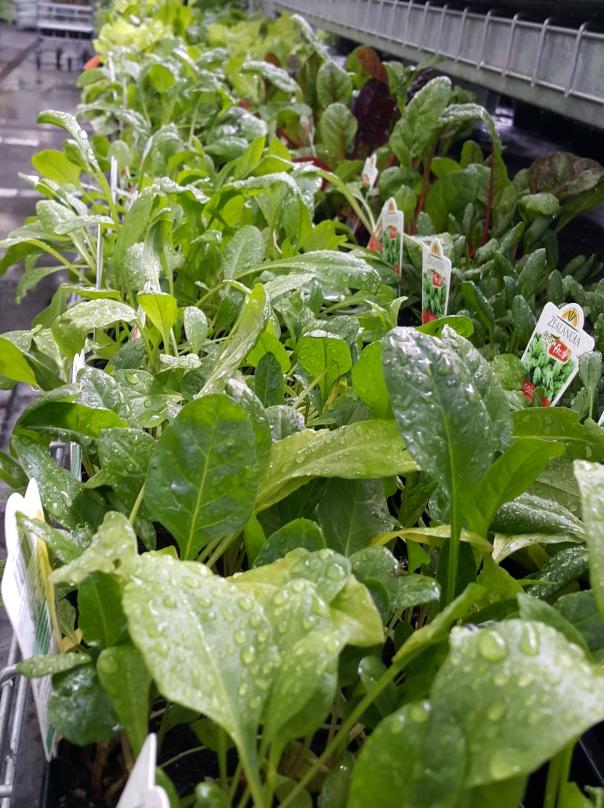 Row upon row of fresh healthy seedlings