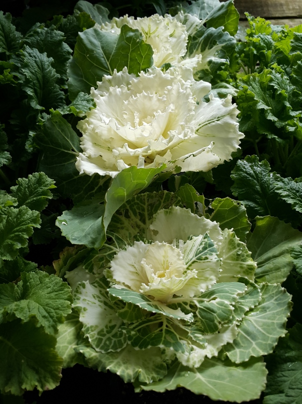 Ornamental cabbage, a gateway plant between the edible and the floral and really pretty