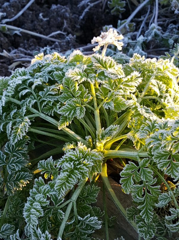 The carrots don't seem to mind a bit of icy lace