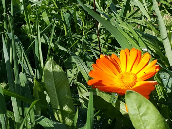 calendula flower in the weeds