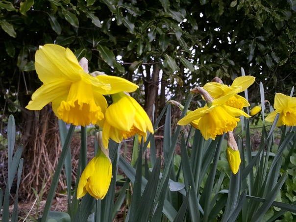 Daffodils are such a bright cheery sight after the gloom of winter