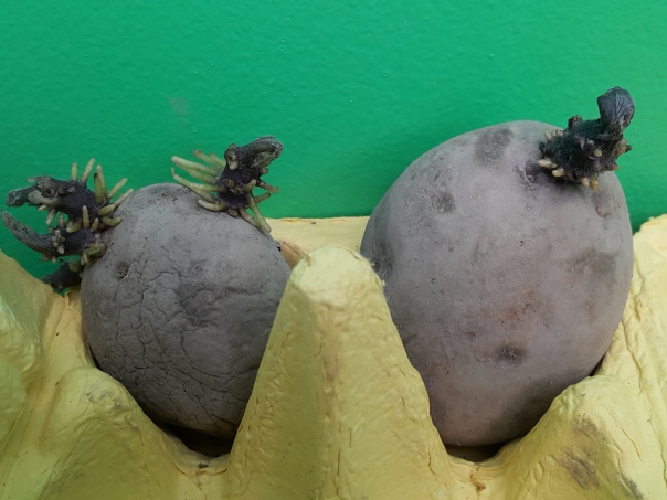 My spuds are chitting
