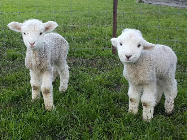 Our little lambs