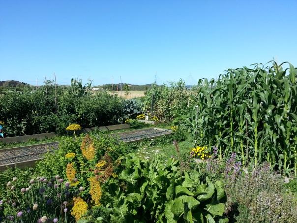 My summer garden in its full glory