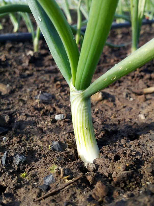 The onions are thickening up nicely.
