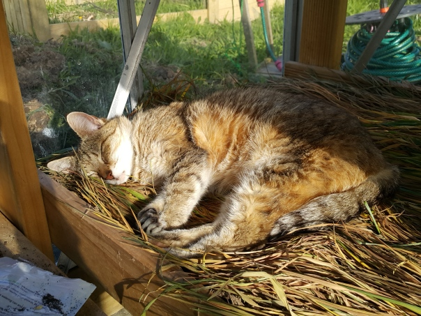 My drying wheat mulch apparently is a nice place to sleep