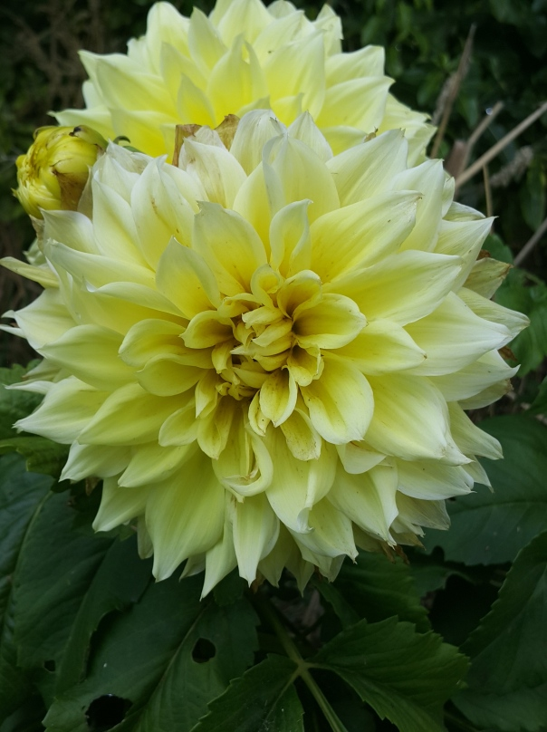 And by growing Dahlia from seed you never know what delightful style you'll get
