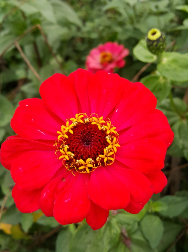 It didn't take long before Zinnia won me over to become my favourite flower