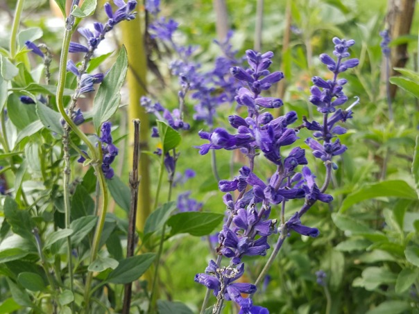 Don't get me started on how amazing the blues of blue salvia are