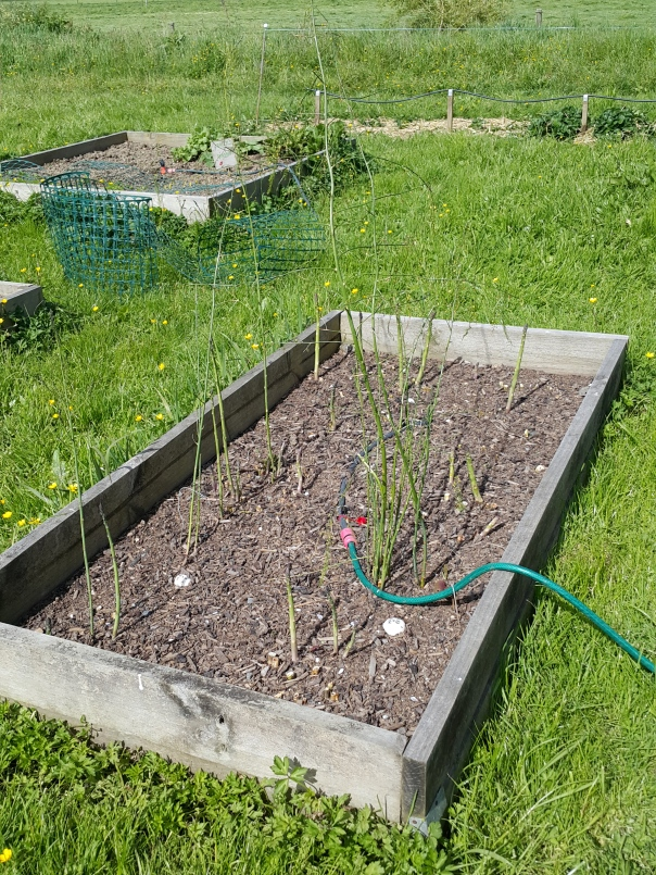 The Other Asparagus bed