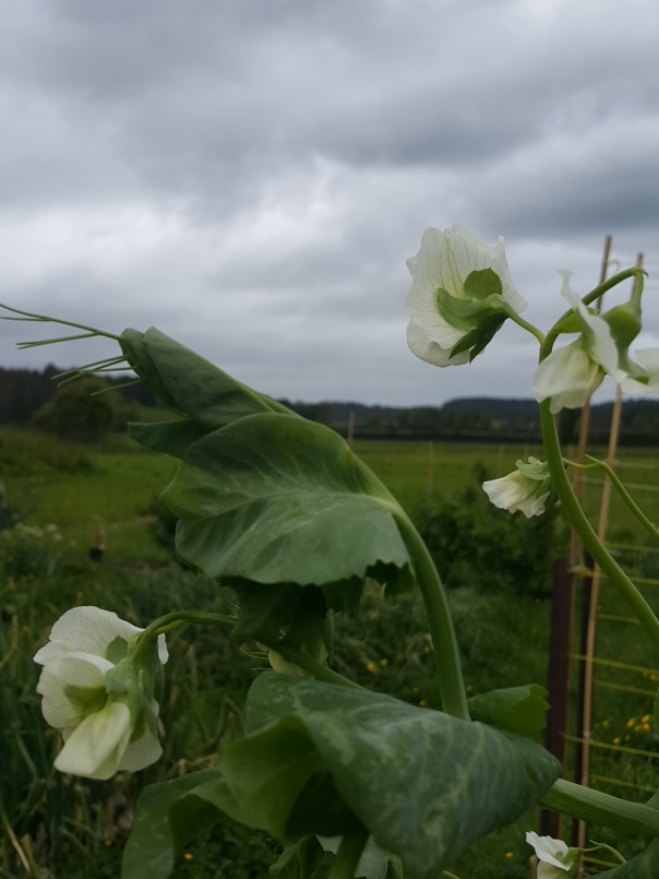gloomy weather and pea flowers