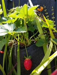 Strawberries are perfect for Hanging Gardens