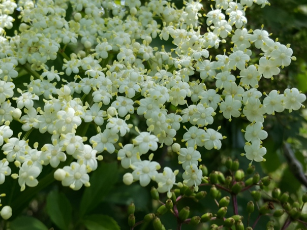 Elderflower cordial - Find 20 flower heads that are open and full