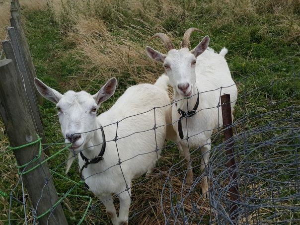 Bemused goats