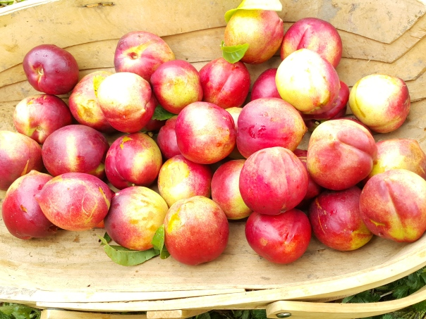A basket of nectarines