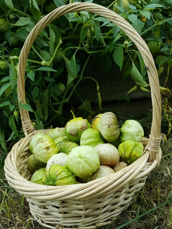 Tomatillo are quite prolific