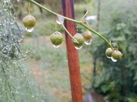 The rain clings to the asparagus like little jewels