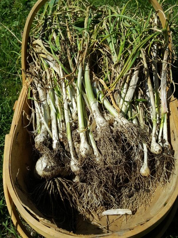 Failed garlic harvest