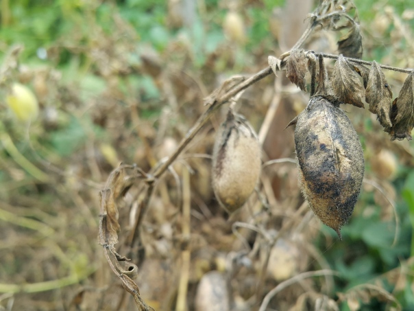 Chickpeas dried on the plant